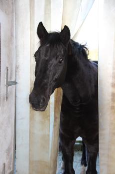 schwarzes Pferd schaut in Stall