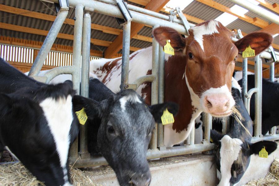 Kühe beim Fressen im Offenstall
