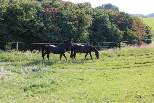 zwei Pferde auf Weide